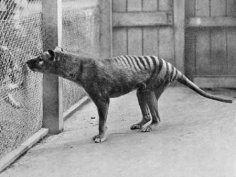 Wilk workowaty w zoo w Hobart (1933); National Archives of Australia