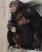 Save the Chimps