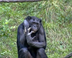 Szympans bonobo© Kabir Bakie; Creative Commons